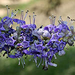 Vitex agnus-castus, Israel, Wildflowers, Native Plants