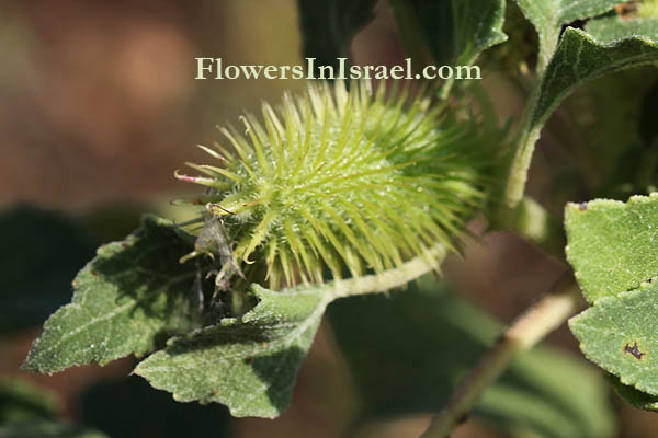 Xanthium strumarium, Rough Cocklebur,לְכִיד הַנְּחָלִים
