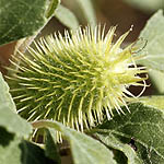 Xanthium italicum, Wildflower, Israel, Send flowers Online