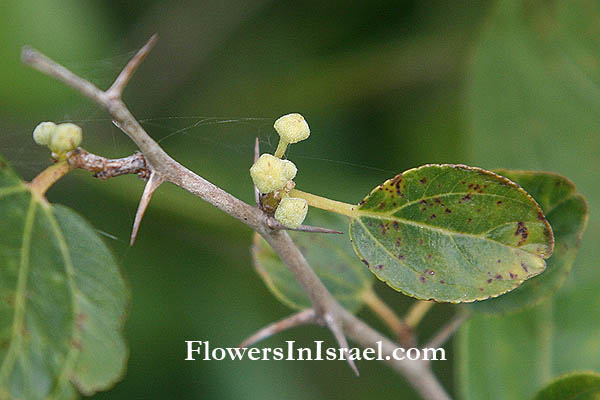 Flora of Israel online, Native Plants, Bible
