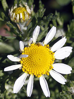 Anthemis pseudocotula, Common Chamomile, קחוון מצוי