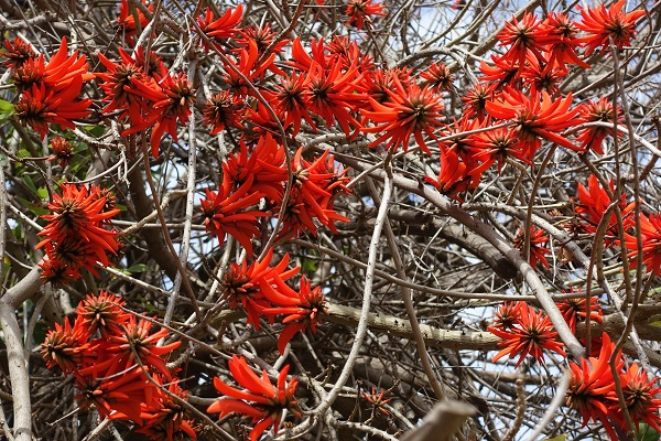 Flowers of Israel - Erythrina corallodendron, Erythrina corallodendrum, Coral Bean Tree, Coral tree, West Indian Coral Tree, אלמוגן רחב-עלים