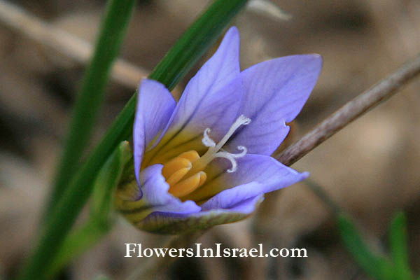 שמורת בני ציון,Nature reserve Bnei Zion,Romulea bulbocodium,Crocus-leaved romulea, רומוליאה סגלולית