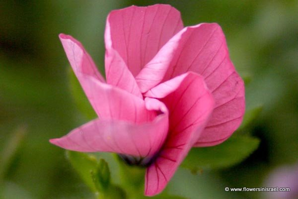 Linum pubescens, Hairy Pink Flax