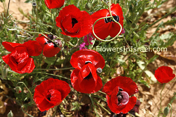 Papaver umbonatum, Corn Poppy, פרג אגסני