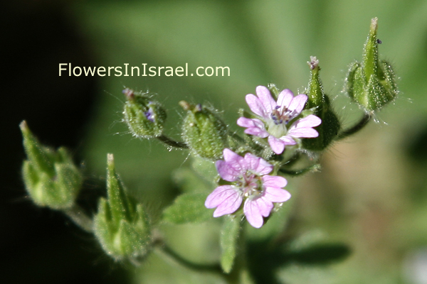 Geranium molle, Dove's-Foot Crane's-Bill, גרניון רך