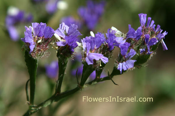 Limonium sinuatum, Cut-Leaf Sea-Lavender, עדעד כחול