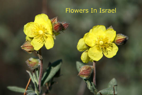 Helianthemum stipuatum, Sun-Rose, שמשון סגלגל